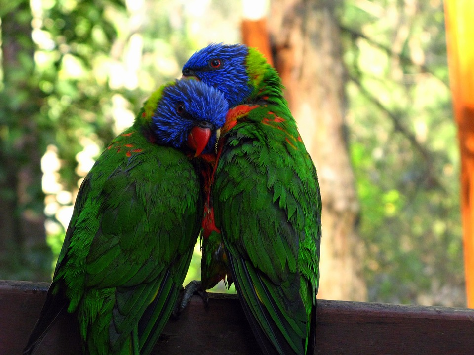rainbow-lorikeet-947196_960_720